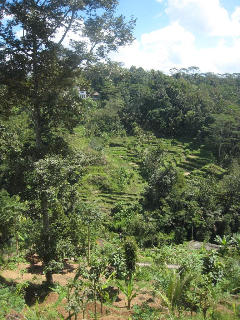 Ubud, Bali - the beautiful rice terraces