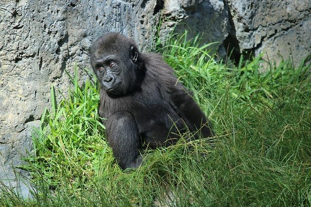 Baby gorilla at San Diego zoo