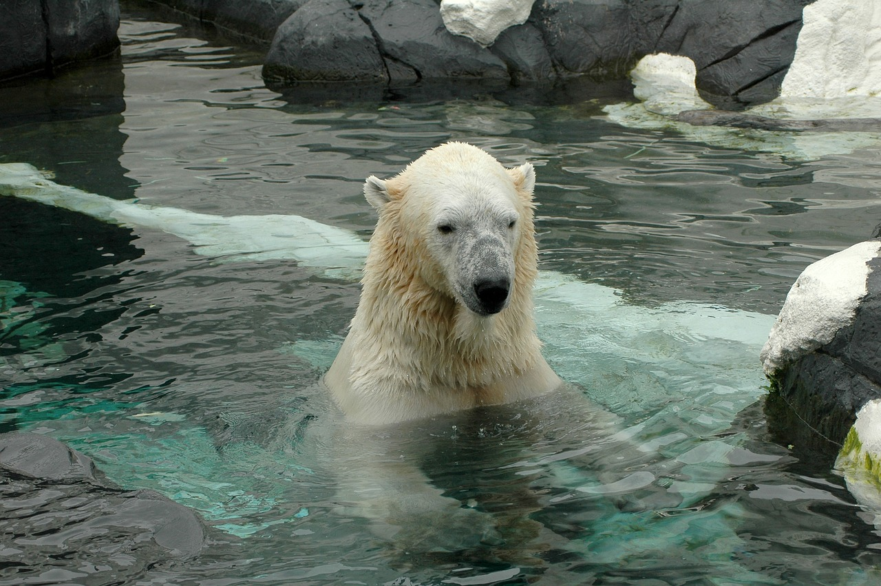 Polar bear in the water at San Diego zoo